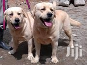 Senior Male Purebred Labrador Retriever | Dogs & Puppies for sale in Nairobi, Eastleigh North