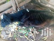 Freshian Cow | Other Animals for sale in Tharaka-Nithi, Chogoria