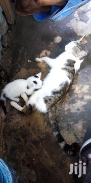 Senior Female Mixed Breed Turkish Angora | Cats & Kittens for sale in Mombasa, Likoni