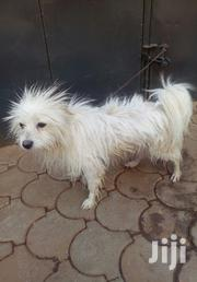 Adult Male Purebred Japanese Spitz | Dogs & Puppies for sale in Kiambu, Juja