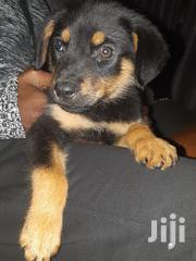 Young Male Purebred Rottweiler | Dogs & Puppies for sale in Kajiado, Ngong