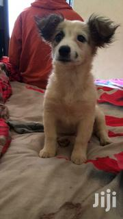 Young Female Purebred Chihuahua | Dogs & Puppies for sale in Nairobi, Nairobi Central
