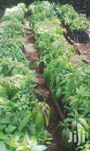 Hass Avocado Fruit Seedling | Meals & Drinks for sale in Nairobi, Karen