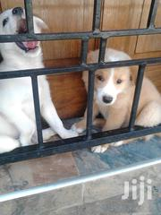 Young Male Purebred Japanese Spitz | Dogs & Puppies for sale in Mombasa, Mkomani