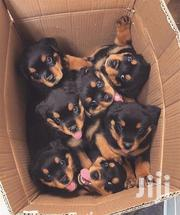 Young Male Purebred Rottweiler | Dogs & Puppies for sale in Mombasa, Mkomani