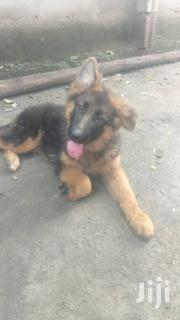 Baby Female Purebred German Shepherd Dog | Dogs & Puppies for sale in Nakuru, Gilgil
