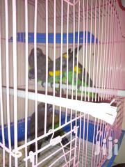 Am Selling 2pairs Of Meyor Parots At A Through Away Price | Birds for sale in Nairobi, Nairobi Central