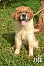 Baby Female Mixed Breed Saint Bernard | Dogs & Puppies for sale in Nairobi, Mountain View