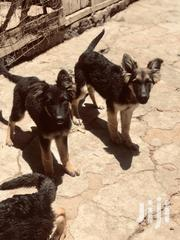 Young Male Purebred German Shepherd Dog | Dogs & Puppies for sale in Nairobi, Ruai