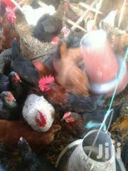 RAINBOW ROOSTERS, KENBRO KIENYEJI CHICKEN AND TURKEY | Livestock & Poultry for sale in Busia, Bunyala West (Budalangi)