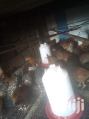Kari Improved Kienyeji Chicks One Day To One Month Old | Livestock & Poultry for sale in Nairobi, Kasarani