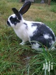 Rabbits (Weaned Bunnies) Pure White Rabbits Also Available | Other Animals for sale in Kiambu, Limuru East