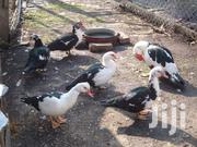 Mature Muscovy Ducks For Sale | Livestock & Poultry for sale in Nairobi, Ruai