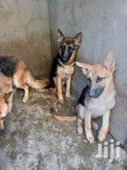 Young Male Purebred German Shepherd Dog | Dogs & Puppies for sale in Kajiado, Kitengela