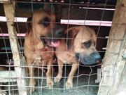 Young Male Purebred Boerboel | Dogs & Puppies for sale in Nairobi, Woodley/Kenyatta Golf Course