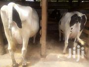Pure Dairy Breeds ... | Other Animals for sale in Kiambu, Githunguri
