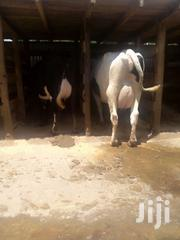 Pure High Breeds Dairy Cows. | Other Animals for sale in Kiambu, Githunguri