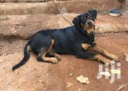 Young Female Purebred Rottweiler | Dogs & Puppies for sale in Nairobi, Kangemi