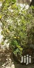 Nursary Pomegranate Tree | Garden for sale in Tudor, Mombasa, Kenya