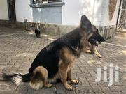 Baby Female Purebred German Shepherd Dog | Dogs & Puppies for sale in Mombasa, Bamburi