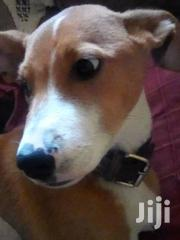Young Male Mixed Breed Basenji | Dogs & Puppies for sale in Nairobi, Karen