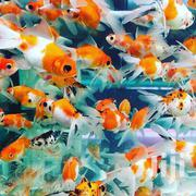 Goldfish, Koi Fish, Alagae Eaters | Fish for sale in Nairobi, Nairobi Central