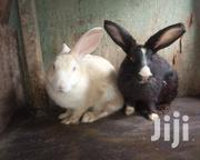 Rabbit Sell | Livestock & Poultry for sale in Mombasa, Changamwe