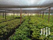 Avocado Hass Seedlings | Feeds, Supplements & Seeds for sale in Embu, Mbeti North