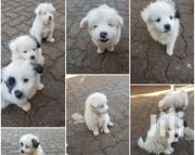 Baby Male Mixed Breed Japanese Spitz | Dogs & Puppies for sale in Nairobi, Westlands