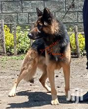 Adult Male Purebred German Shepherd Dog | Dogs & Puppies for sale in Nakuru, Bahati
