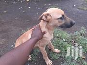 Young Male Mixed Breed Boerboel | Dogs & Puppies for sale in Nakuru, Nakuru East