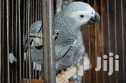 African Grey Parrote | Birds for sale in Nairobi, Karen