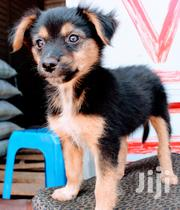 Baby Male Mixed Breed German Shepherd Dog | Dogs & Puppies for sale in Nairobi, Roysambu
