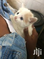 Baby Male Purebred | Cats & Kittens for sale in Nairobi, Kahawa