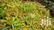 Golden Hass Avocado Seedlings | Feeds, Supplements & Seeds for sale in Embu, Mbeti North