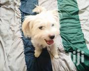 Young Male Purebred Maltese | Dogs & Puppies for sale in Nairobi, Ngara