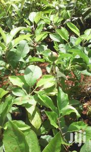 Best Apples Seedlings Seller | Feeds, Supplements & Seeds for sale in Murang'a, Township G