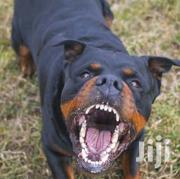 Young Male Purebred Rottweiler | Dogs & Puppies for sale in Nairobi, Airbase