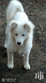 Young Male Purebred Japanese Spitz | Dogs & Puppies for sale in Nakuru, Nakuru East