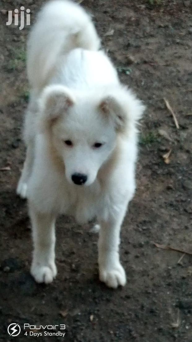 Archive: Young Male Purebred Japanese Spitz