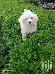 Young Male Purebred Maltese | Dogs & Puppies for sale in Nairobi, Westlands