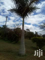 Royal Palm Planting Seedlings | Feeds, Supplements & Seeds for sale in Kiambu, Chania