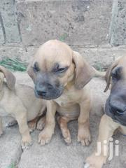 Young Female Purebred Boerboel | Dogs & Puppies for sale in Nairobi, Embakasi