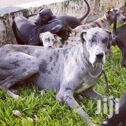 Young Male Purebred Great Dane | Dogs & Puppies for sale in Nairobi, Airbase