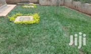 Paspalum Lawn Grass In Kenya | Garden for sale in Nairobi, Roysambu