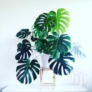 Monstera A.K.A Swiss Cheese Plant | Garden for sale in Kiambu, Gitaru