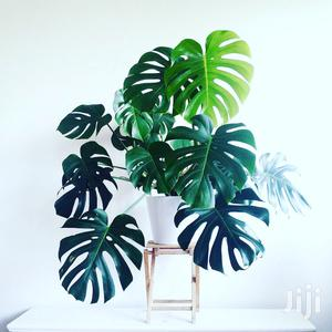 Monstera A.K.A Swiss Cheese Plant