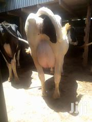 Pure Freshians And Holstein Breeds. | Other Animals for sale in Kiambu, Githunguri