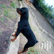 Young Male Purebred Rottweiler | Dogs & Puppies for sale in Nairobi, Kahawa