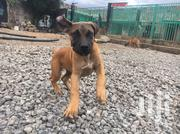 Young Female Purebred Boerboel | Dogs & Puppies for sale in Kajiado, Ongata Rongai
